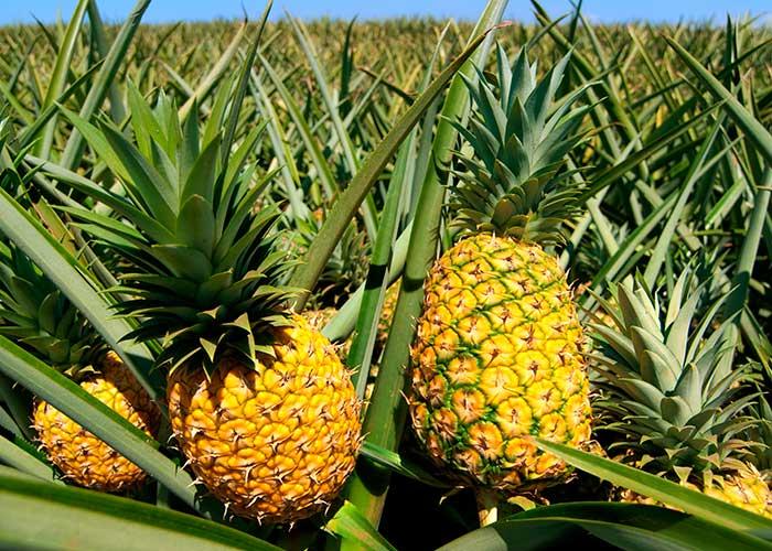 Плантации ананасов в Танзании