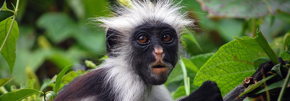 Приматы на грани вымирания - колобусы