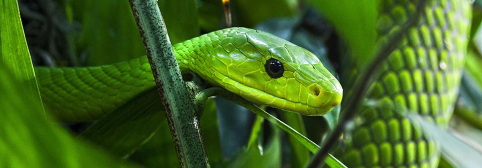 Каких змей стоит опасаться на Занзибаре?