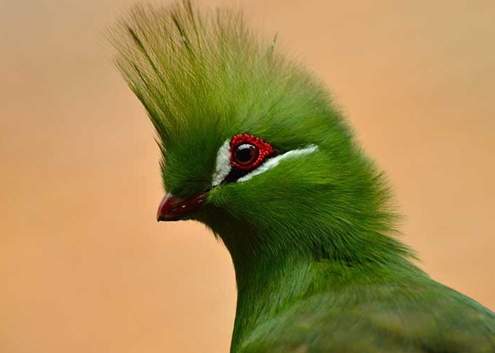 Самая красивая птица Танзании гвинейский турако - фото
