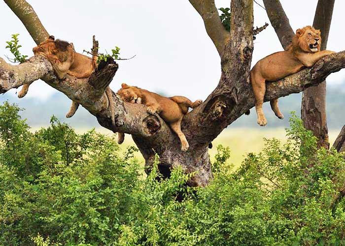 Уникальность львов на озере Маньяра - фото