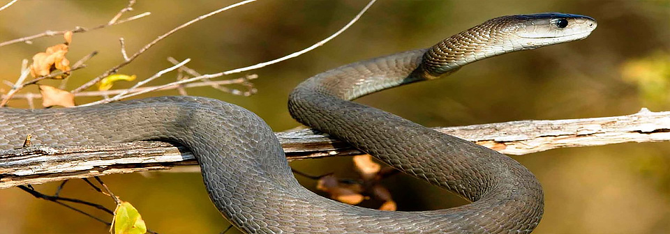 Черная мамба - самая опасная змея в мире